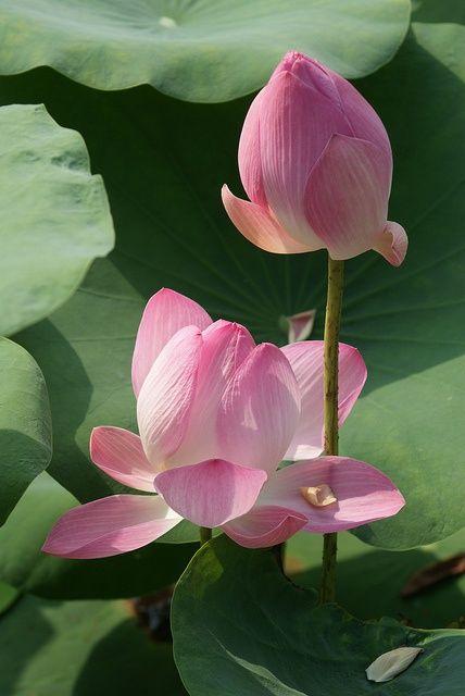 Eine hübsche Lotus Blume