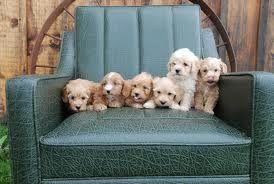 Shitzu Lhasa Apso Puppy Poodle Puppy Lhasa Apso Lhasa Apso Puppies