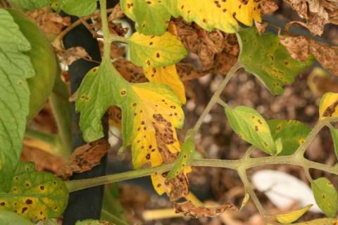 Yellowing Leaves And Brown Spots Indicate Early Blight 7 Of