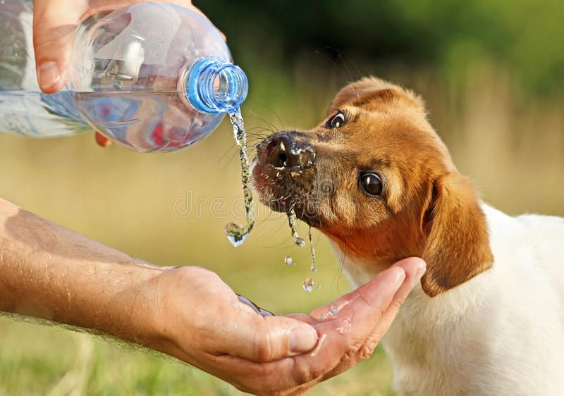 A puppy drinking water from a bottle. A dog (puppy Jack