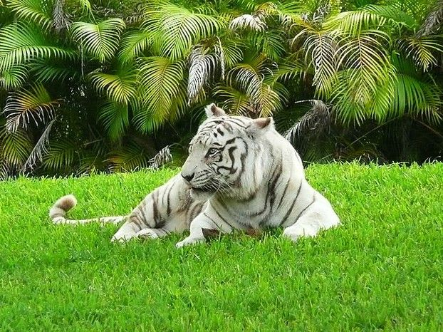 White Tiger Facts For Kids Bengal Tiger Bengal Tiger Facts Tiger Pictures