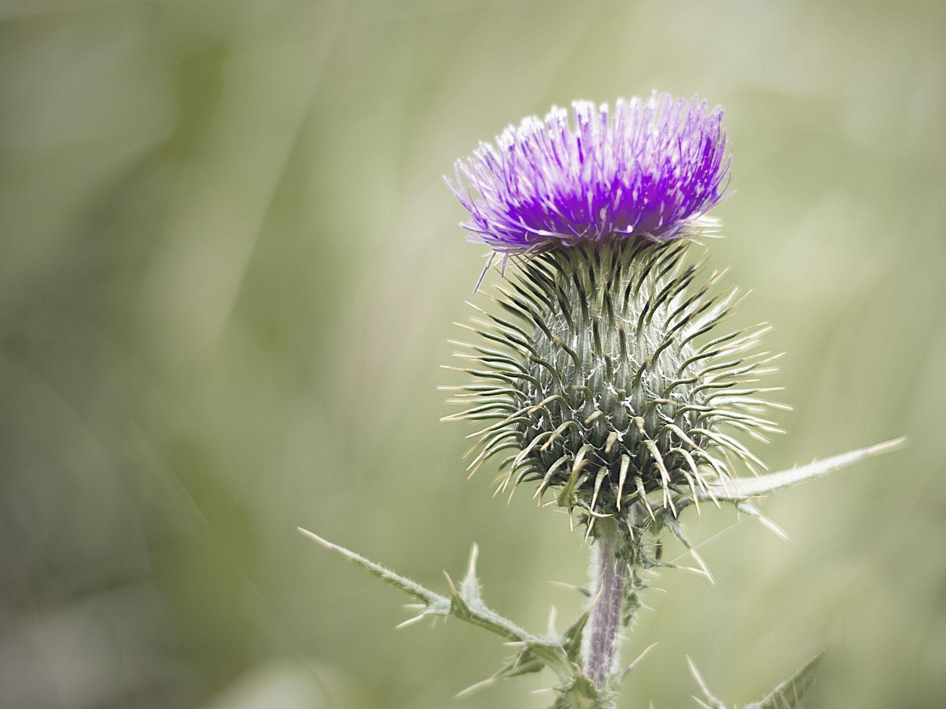 Thistle by Trine Schack ֎ Scotland national flower