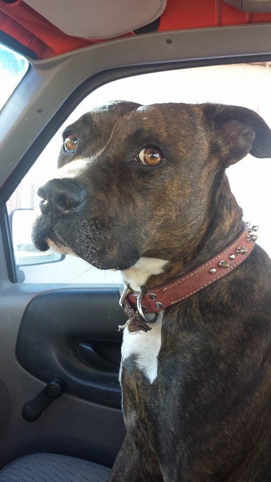 Adopt Tigger On Pitbull Boxer Mix Pitbull Mix Puppies Pitbull