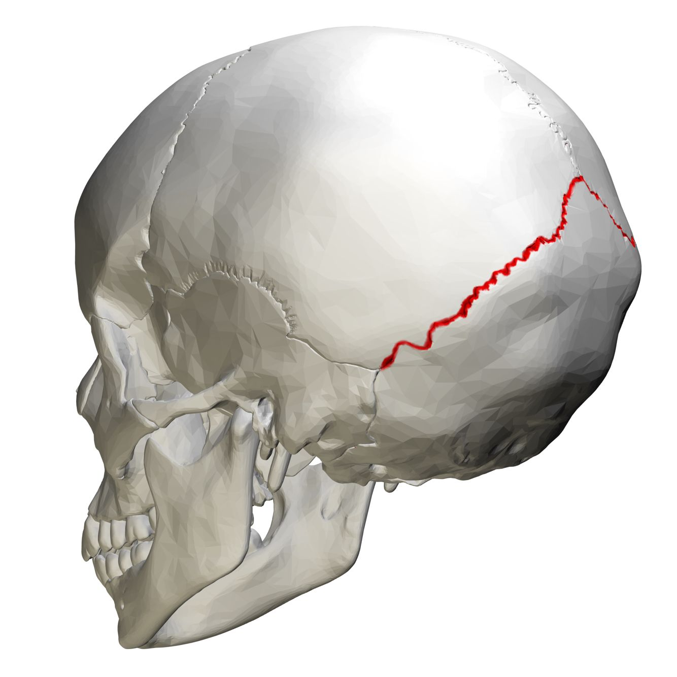 Lambdoid suture : articulate parietal bones with occipital bone ...