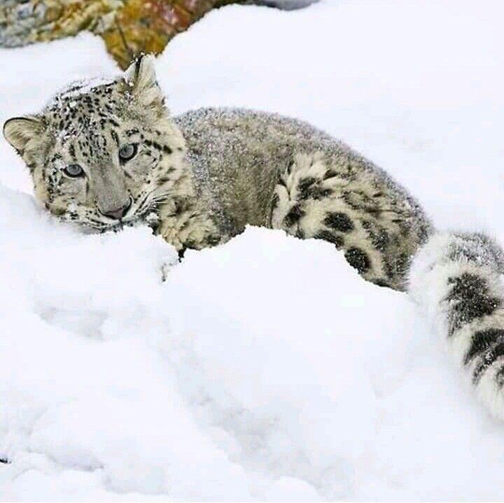 Pin de Steven Pomian en Snow leopards | Pinterest | Animales ...