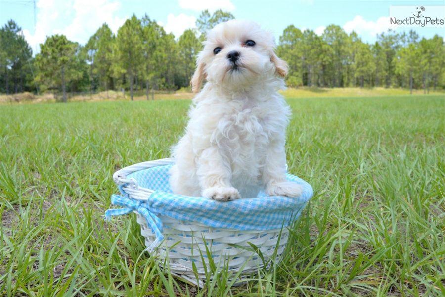 Malti Poo Maltipoo Puppy For Sale Near Sarasota Bradenton