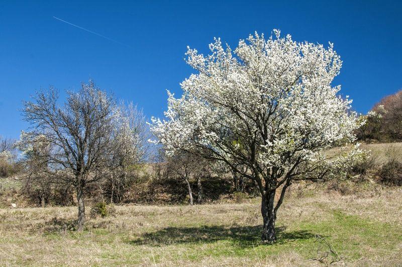 Wild Plum Tree Wild Plum Tree Plum Tree Growing Tree