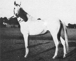 Farida, 1921 (Saqlawi II x Nadsa El Saghira)