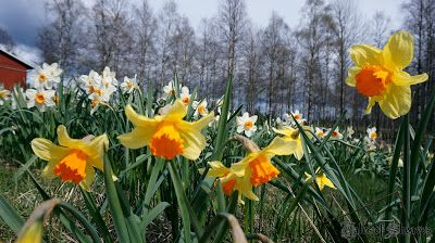 Daffodils at Fagerås, Sweden #talesofsheaves