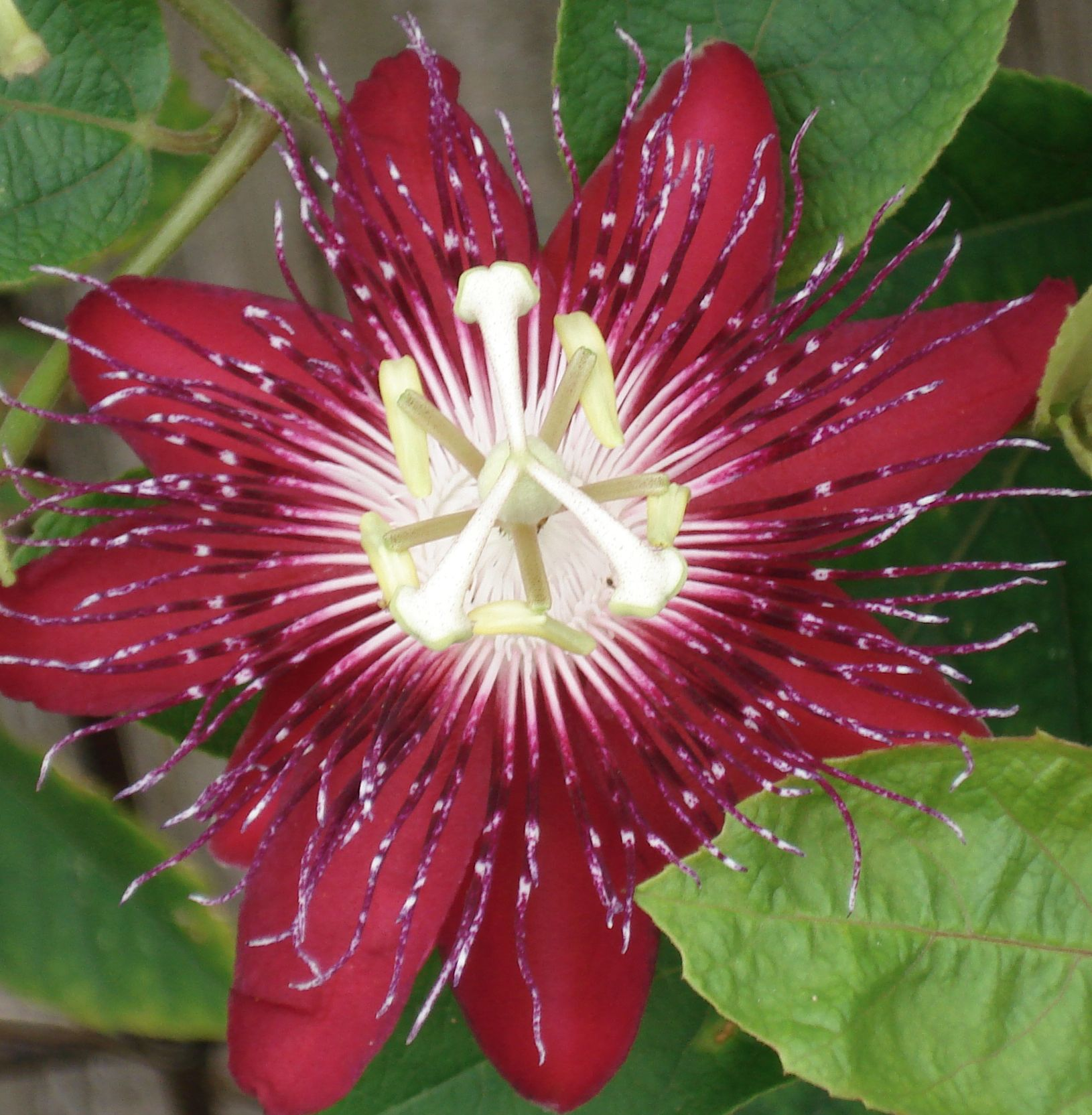 Red Passion Flower Passion Flower Flowers Beautiful Flowers