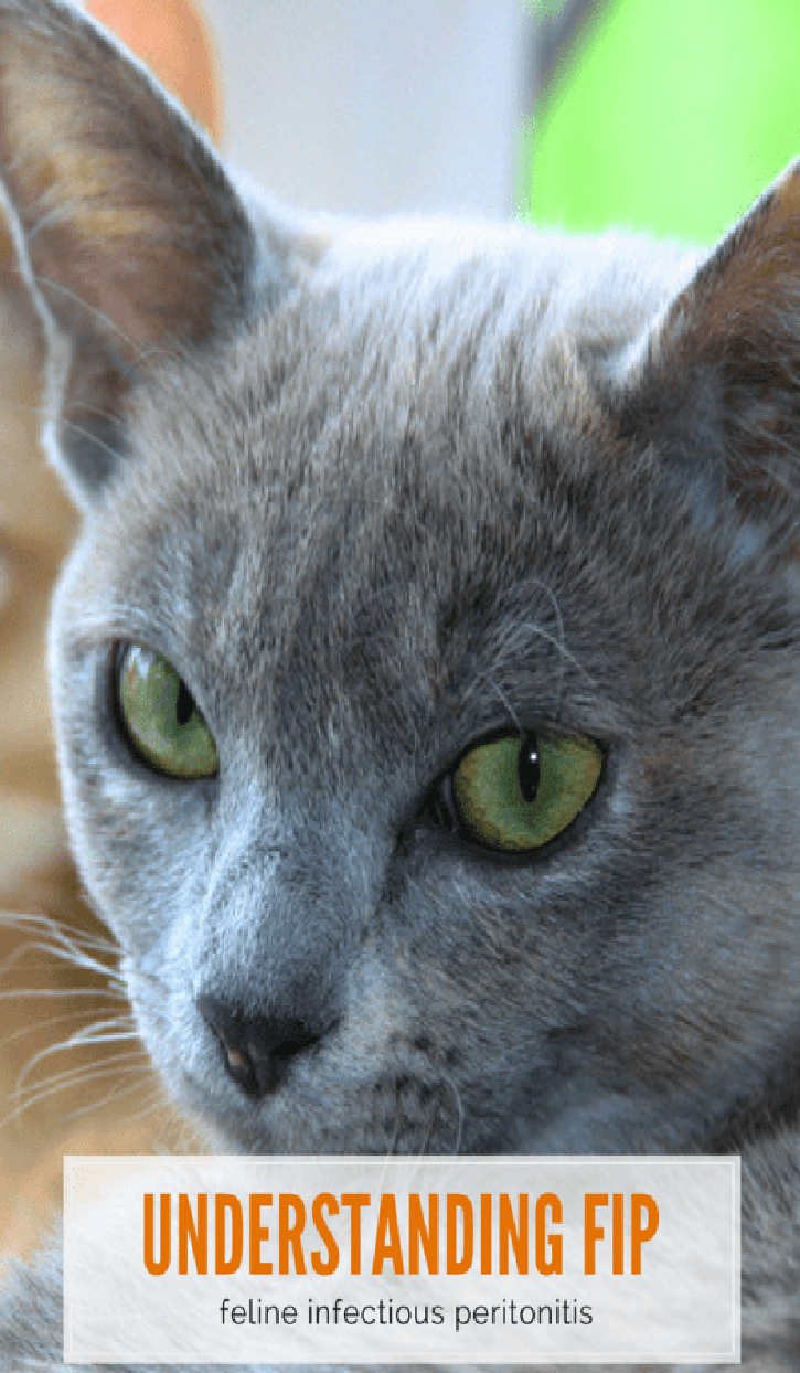 Feline Infectious Peritonitis (With images) Sick cat