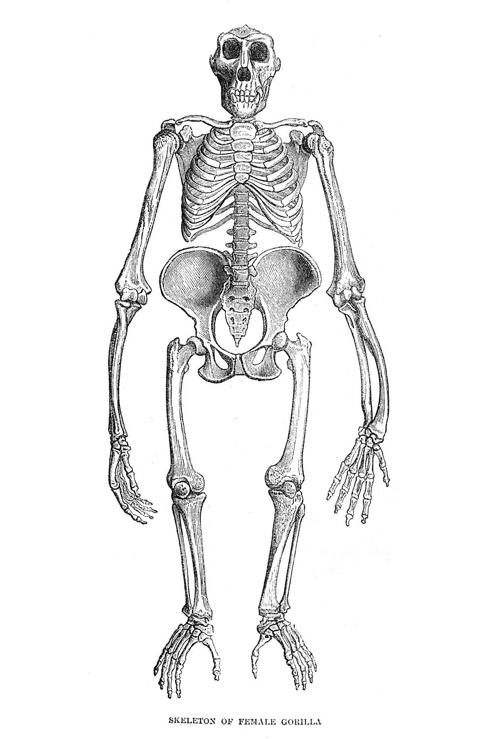 The skeleton of a female gorilla. | Animals | Pinterest | Female ...