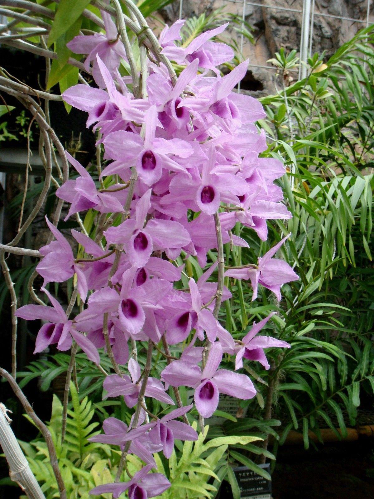 Dendrobium seeds hawaii flowersinhawaii rareorchid