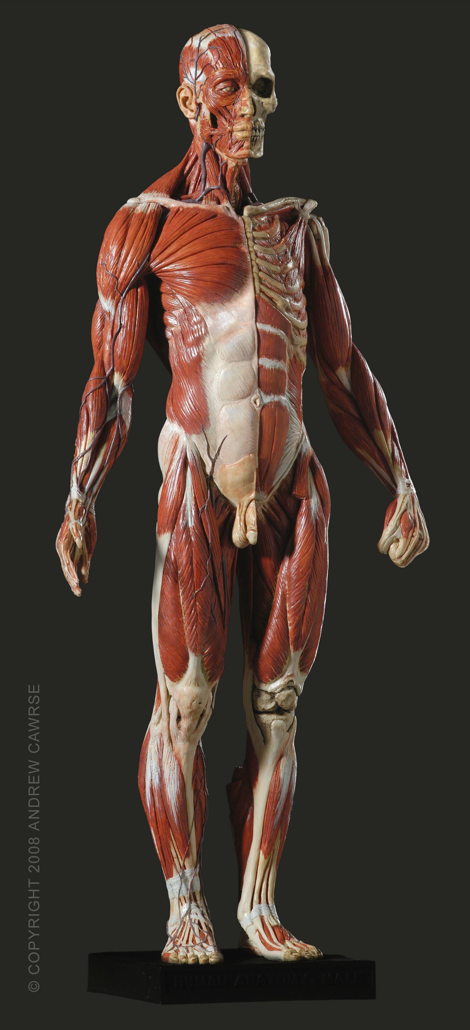 Male Anatomy Model Anatomy Pinterest Anatomy Anatomy