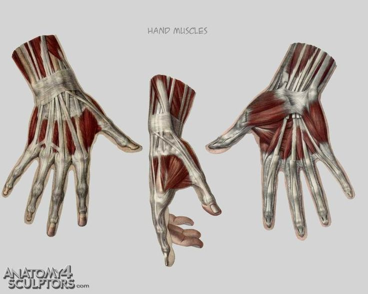 Image result for hand muscle reference | hand ref | Pinterest | Muscles