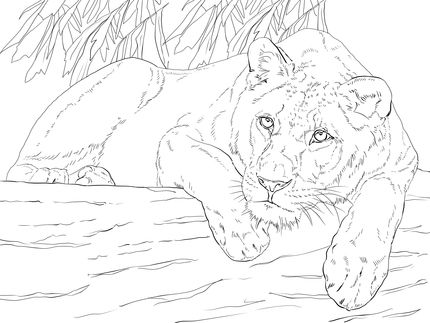 Lying Lioness Coloring Page Supercoloring Com Lion Coloring Pages Free Printable Coloring Pages Coloring Pages