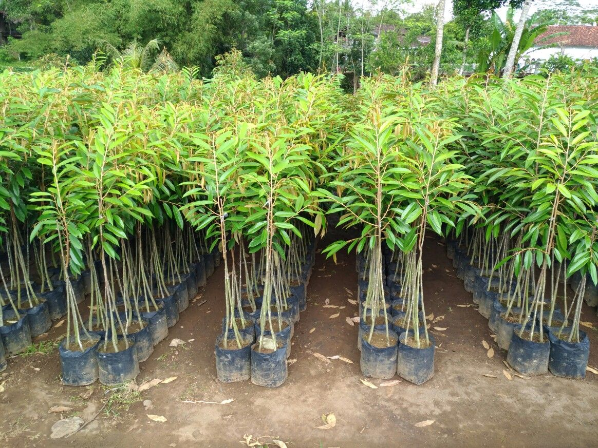 Gambar Kebun Durian Musang King