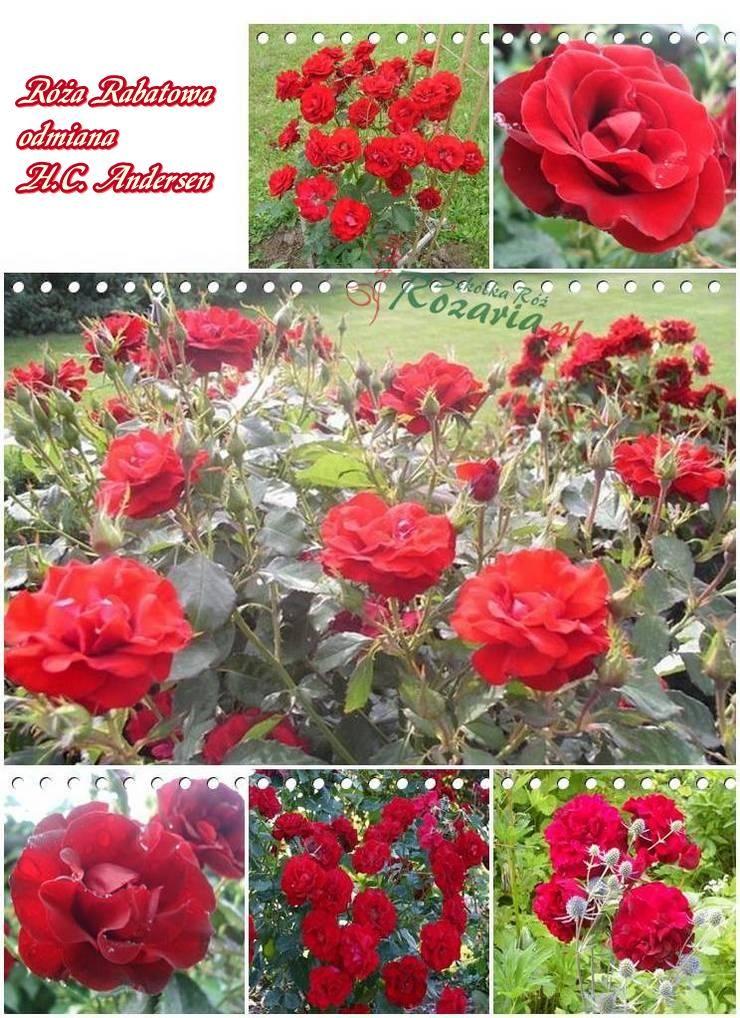 Roze Rabatowe H C Andersen Andersen Plants