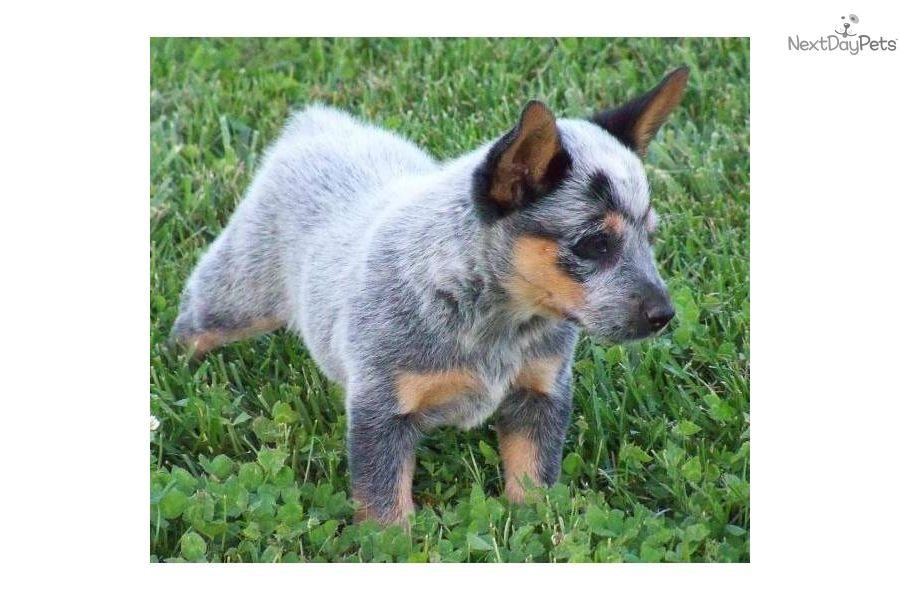 Blue Heeler Australian Cattle Dog Puppies For Sale In Pa