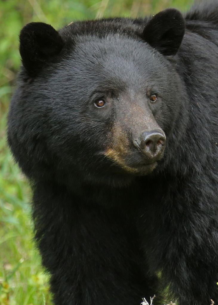 https://flic.kr/p/Dxkkxd | Black Bear...#2 | June 2015 - A close up shot of a big ole Black Bear in Banff National Park.
