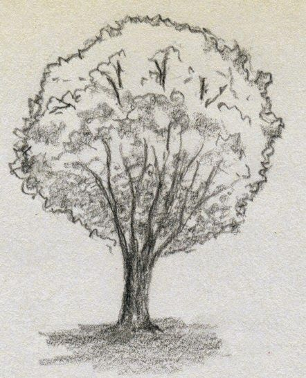 Observational Drawings As A Tool For Science Tree Sketches Tree Drawing Realistic Drawings