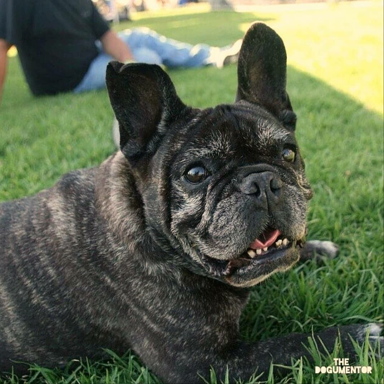 Kikkoman, French Bulldog, Chula Vista HarborFest
