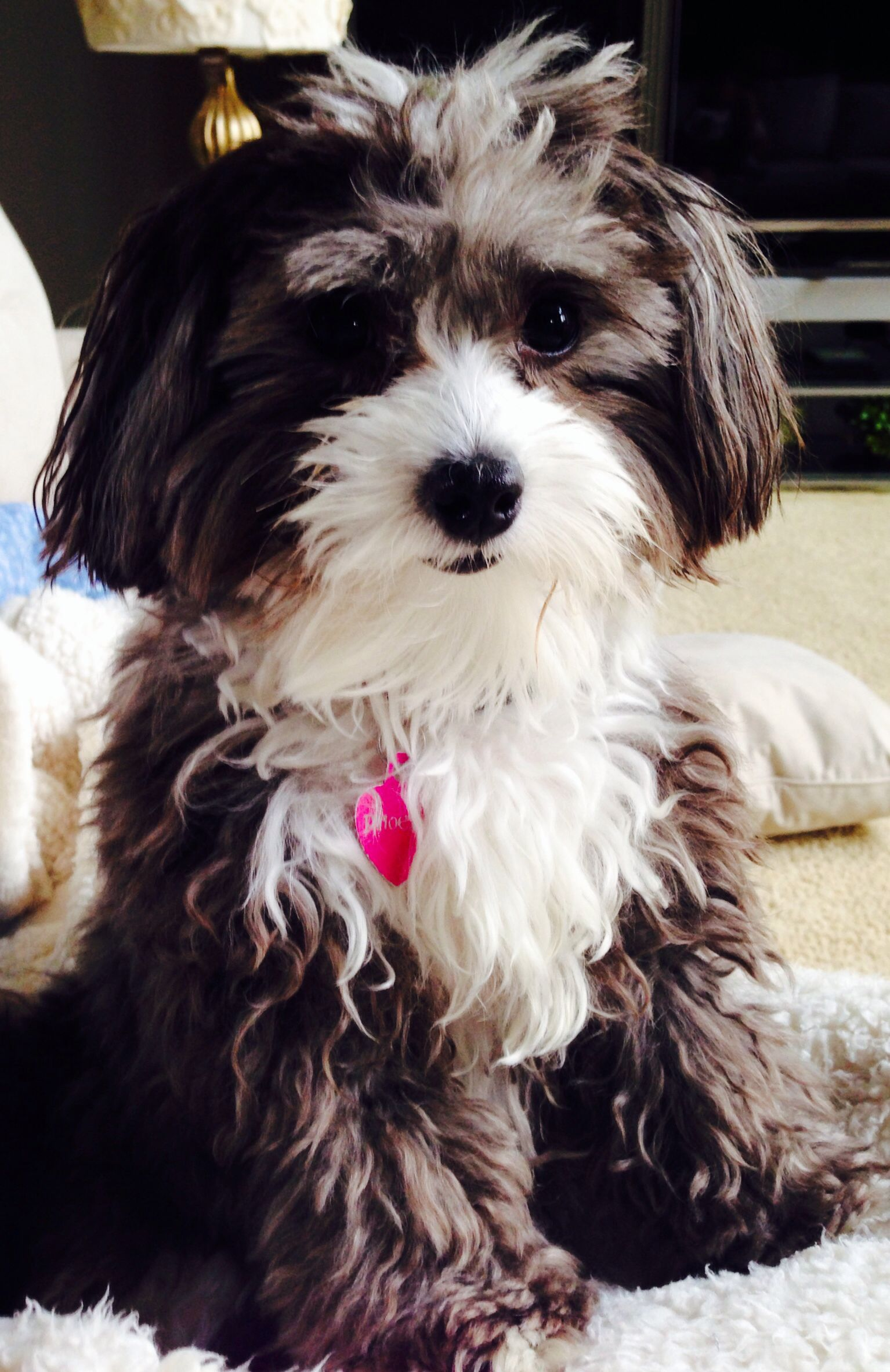 Phoebs | Cute dogs, Puppy time, Havanese