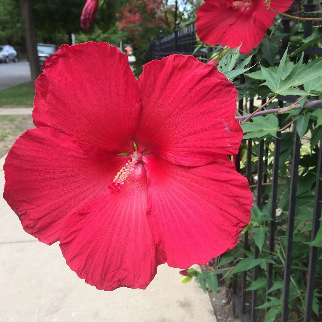 There Was No Ignoring This Gigantic Dinner Plate Size Hibiscus Flower Photo Bomb