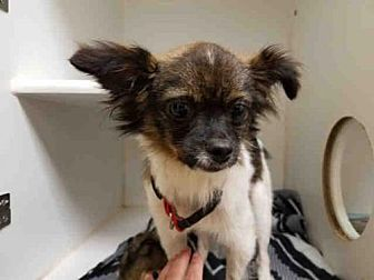 Chihuahua Papillon Mix Dog For Adoption In Texas City Texas A009615 Dog Adoption Pets Kitten Adoption