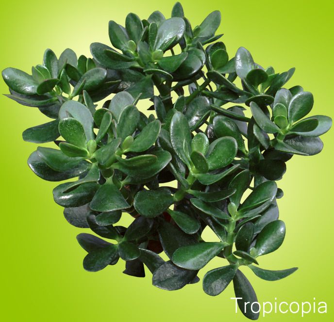 Jade Plant Grow Care Tips | HousePlant411.com | Houseplant 411   How To  Identify. Indoor GardeningIndoor PlantsContainer ...