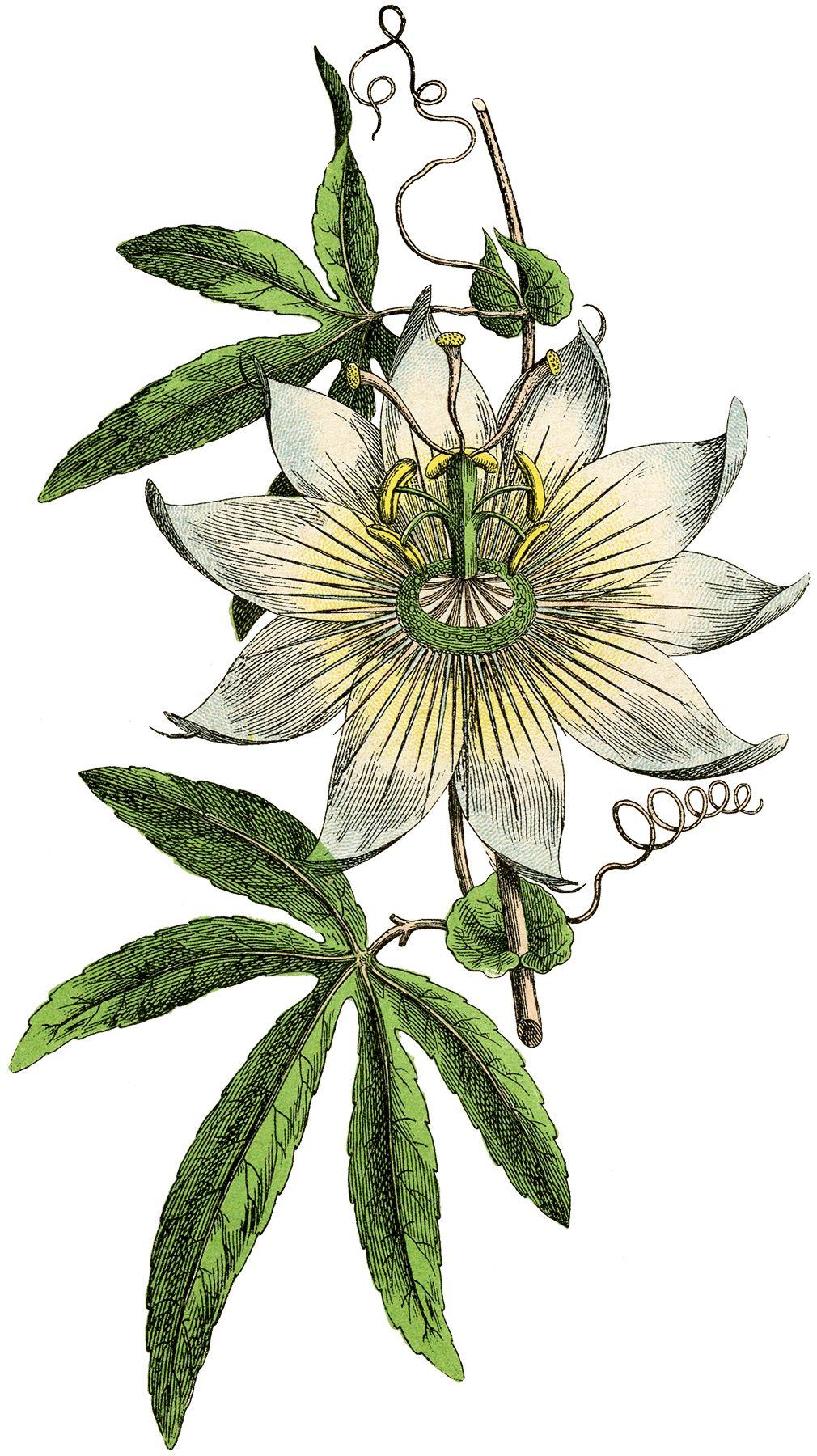 12 White Botanical Flower Images Updated Flower Drawing Botanical Flowers Botanical Drawings
