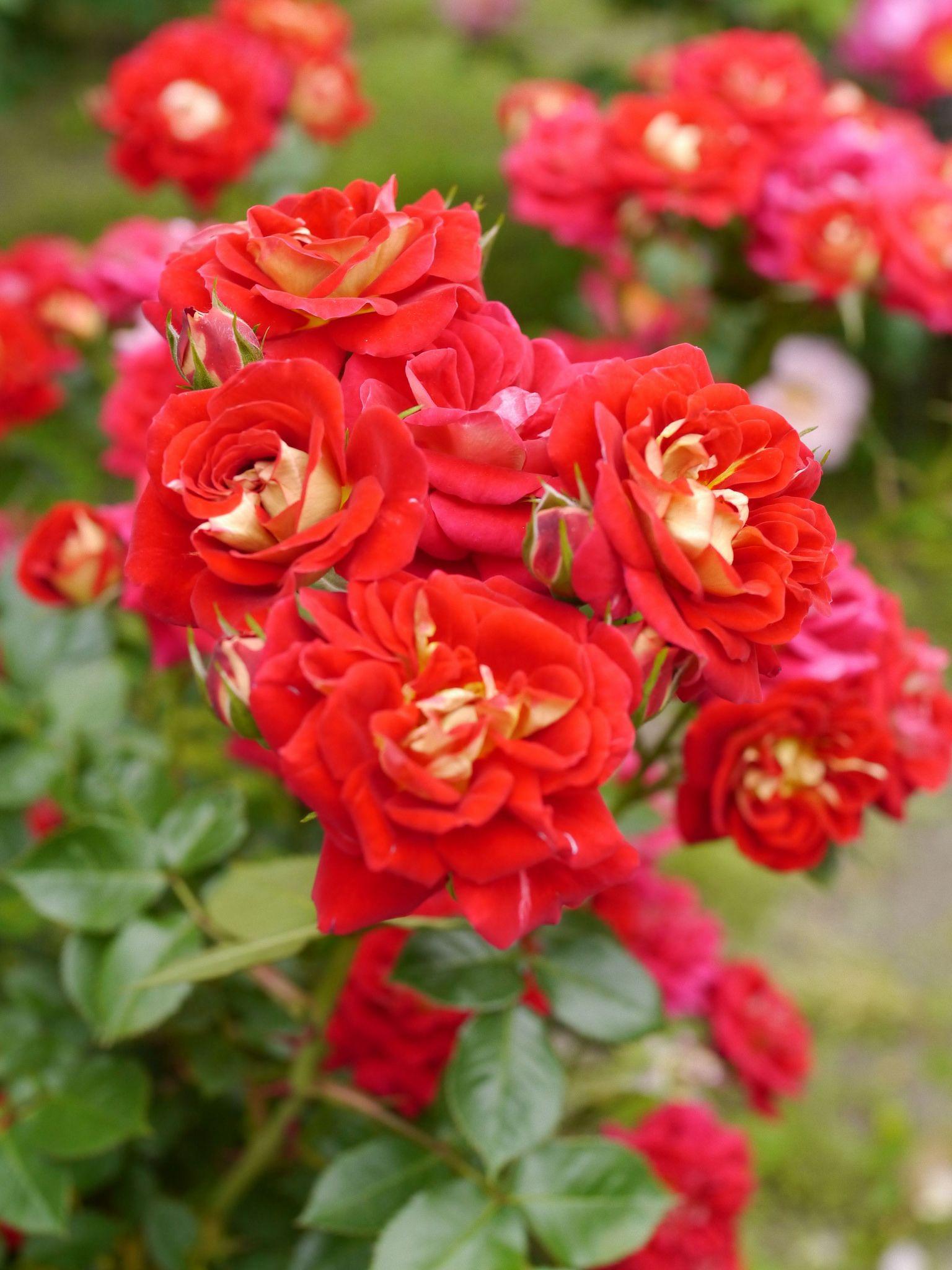 Rose, Trinity, バラ, トリニティ, Shrub rose シュラブ United Kingdom イギリス Warner 2004