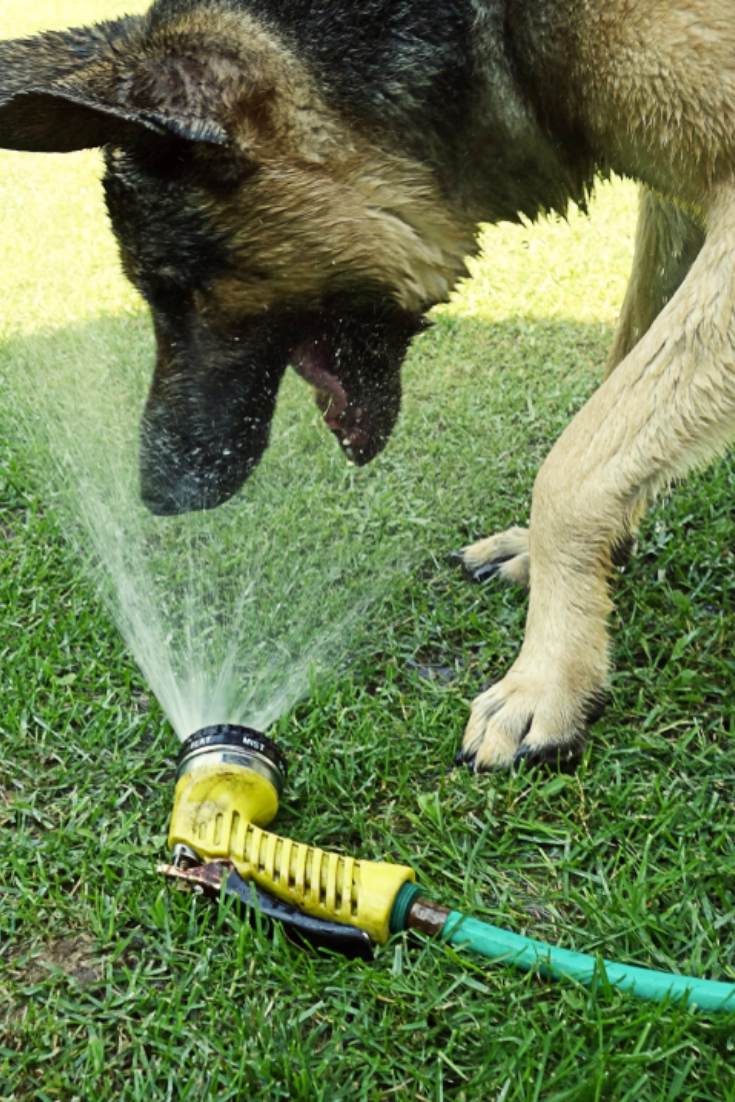 Dog drinking water from hose in yard - large male german shepherd ...