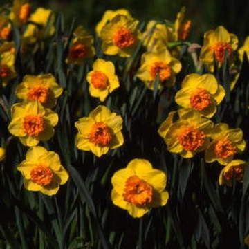 Brent And Becky S Bulbs Daffodils Bulb Flowers Art