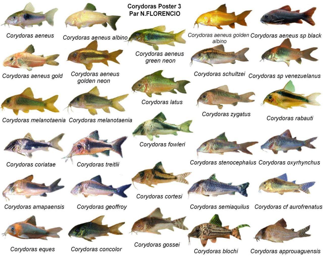 Freshwater aquarium fish poster - Poster