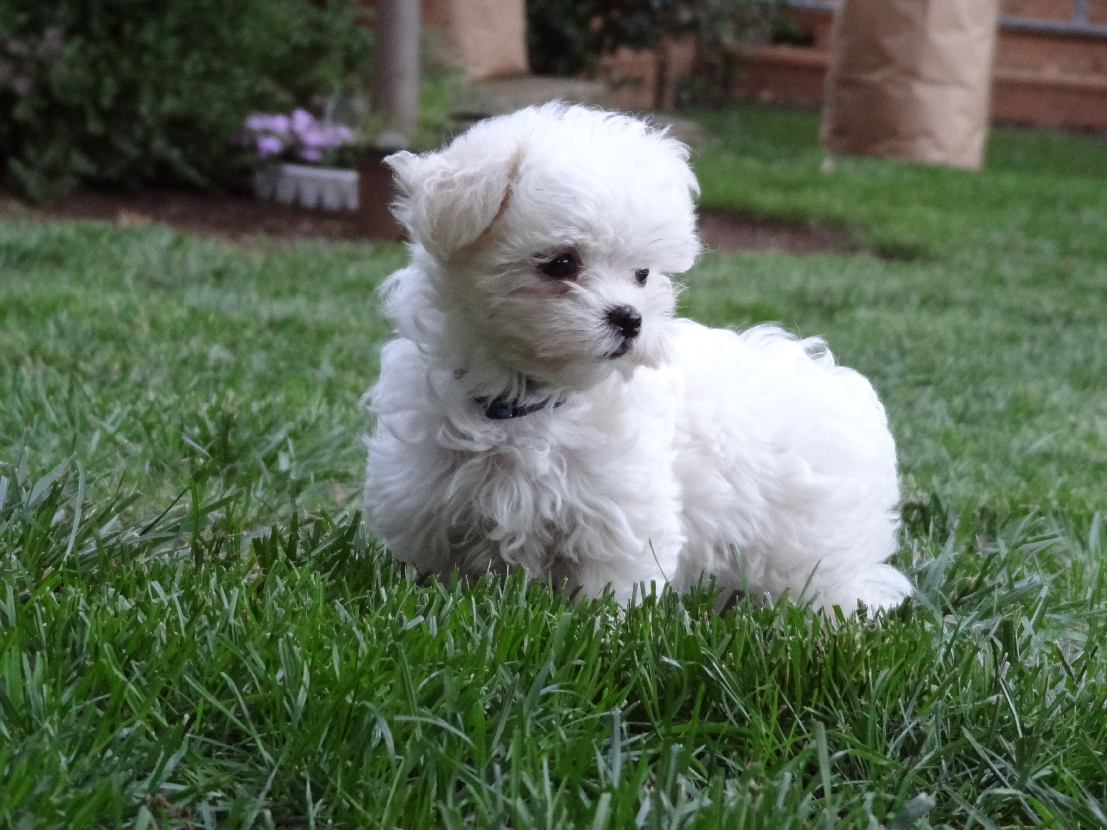 7 Weeks Old Maltese Puppy Maltese Dogs Maltese Puppy Dogs And