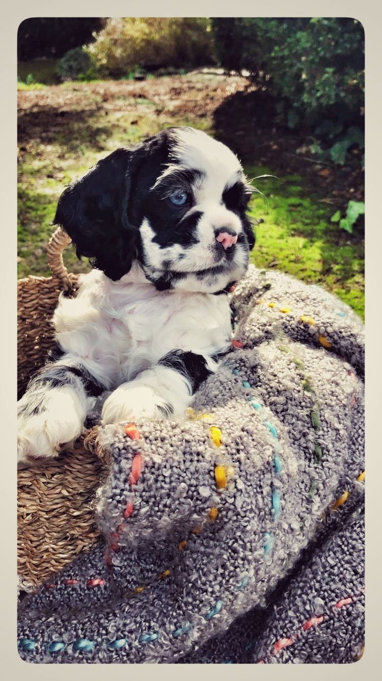 American Cocker Spaniel Black White Parti Merle Blue Eyes White Cocker Spaniel American Spaniel Puppies With Blue Eyes