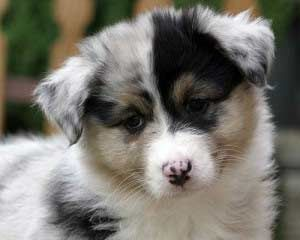Miniature Aussies For Sale In Texas Teacup Australian Shepherd