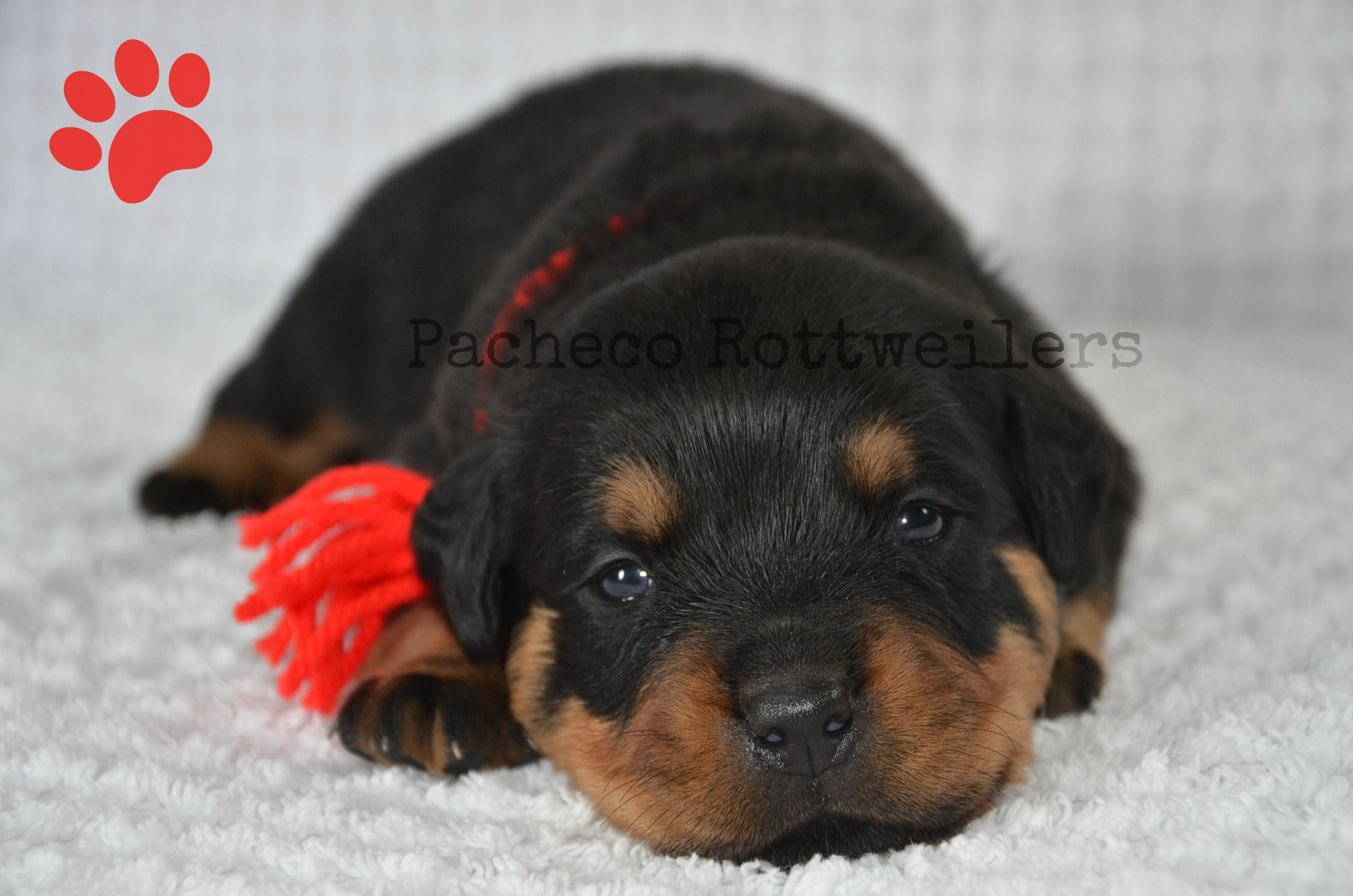 Red Male 2 Weeks Old Rockin Red With Images Pet Home