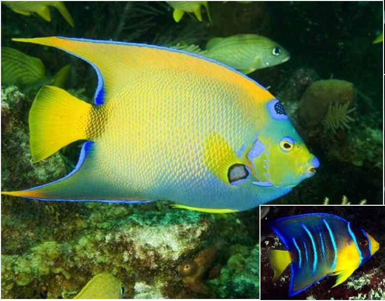Angelfish Angel Fish Fresh Water Fish Tank Marine Fish For Sale