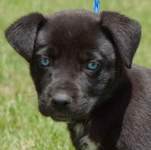 Husky Black Lab Golden Retriever Mix Puppies Labrador Retriever Labrador Husky