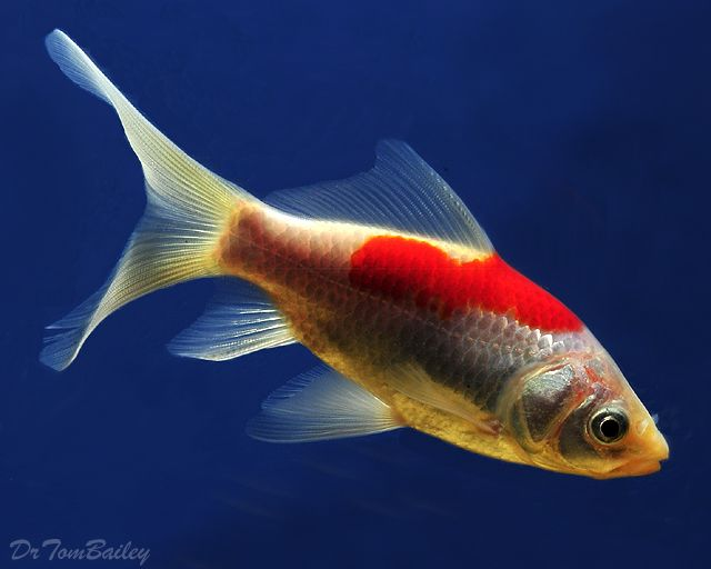 Summary -> Sarasa Comet Goldfish For Sale - stargate-rasa info