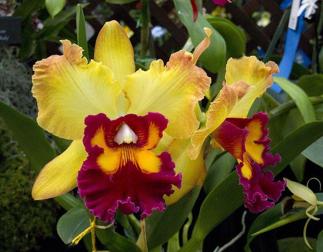 Cattleya Mary Ellen Carter X Rhyncholaeliocattleya Frank Gilmore Beautiful Orchids Beautiful Flowers Cattleya Orchid