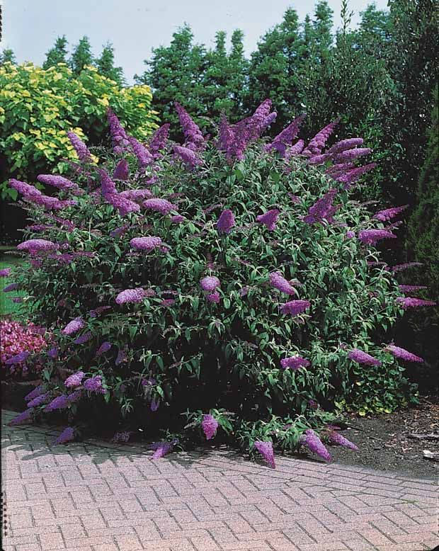 Buddleia bleu arbustes pinterest jardins plantes et for Plantes et arbustes