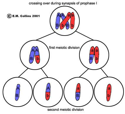 Crossing Over Variations Meiosis College Classes Biology