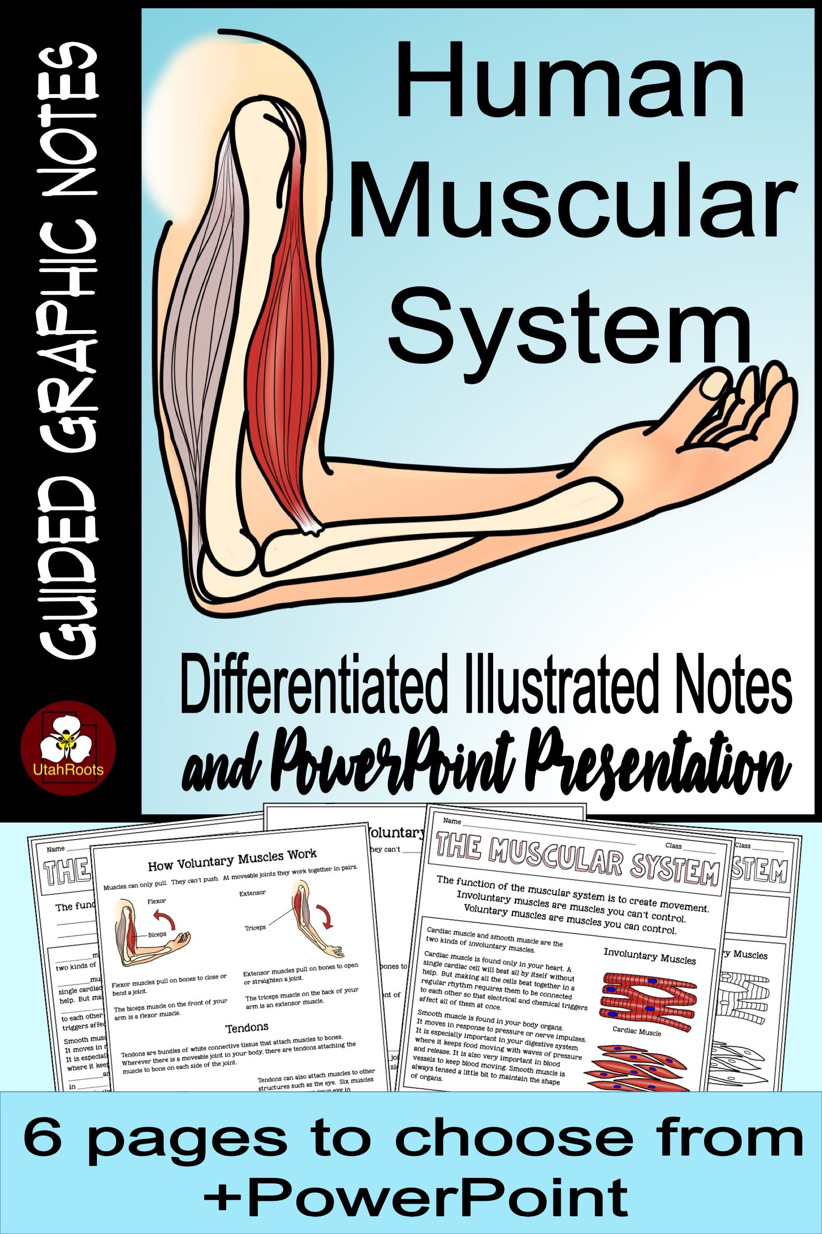 Muscular System Guided Graphic Notes And Presentation
