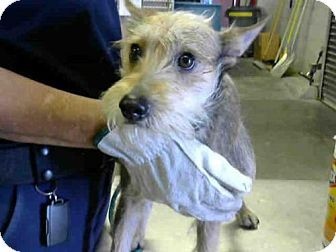 Pictures Of A3924536 A Jack Russell Terrier Miniature Schnauzer Mix For Adoption In Mesa Az Who