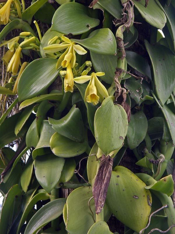 Vanilla tree with flowers | Grow vanilla beans, Vanilla ...
