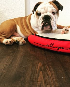 English Bulldog Puppy For Sale In Oakley Ca Adn 59230 On