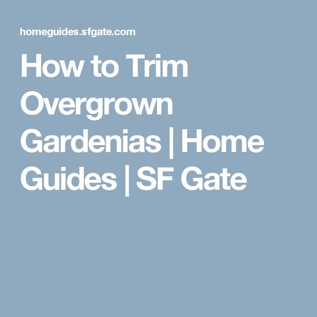 How To Trim Overgrown Gardenias Gardenia Overgrown Trim